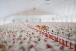 conforto animal na construção de granjas